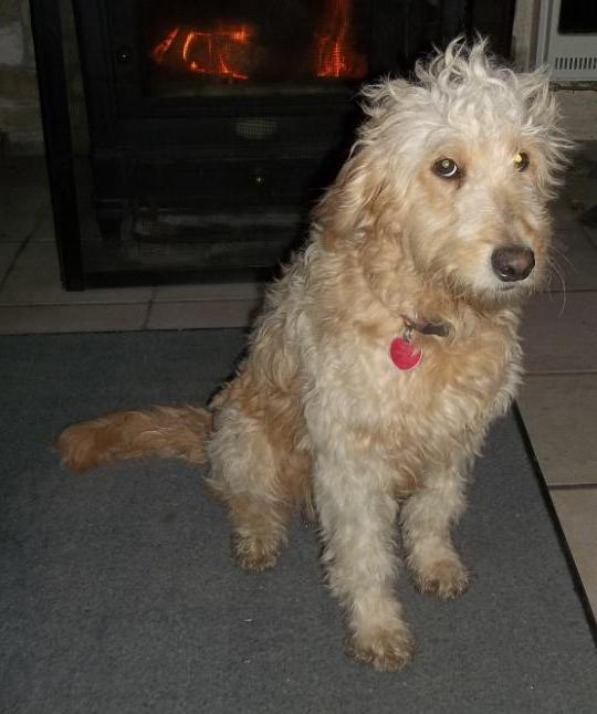 Sheena our goldendoodle mom
